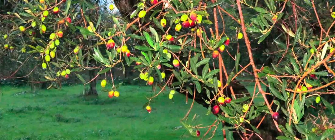 My Trees, My Olives