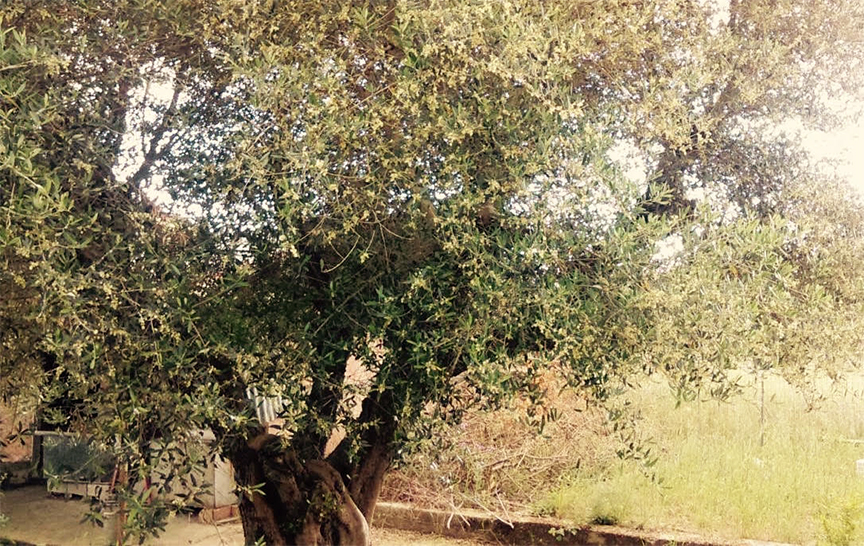 One of my favorite olive trees on my family's farm.